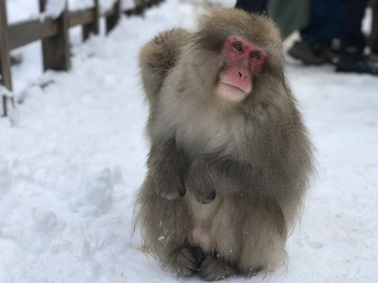 Japanese Macaques (Macaca fuscata)