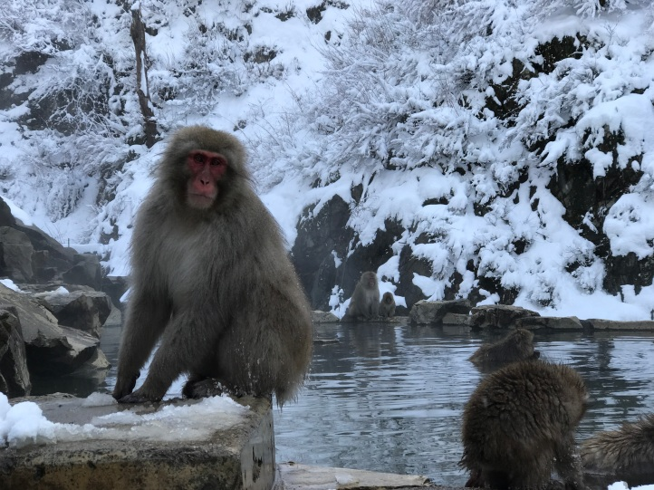 Japanese Macaques at a natural hot spring, Nagano