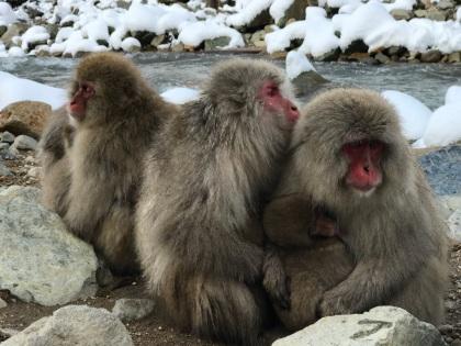 Huddling macaques