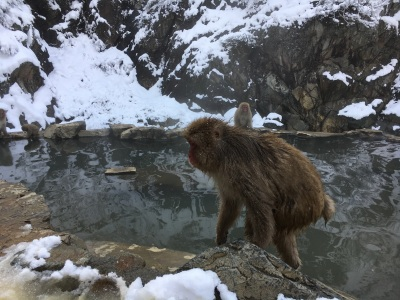 Japanese Macaques at a natural hot spring, Nagano