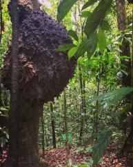 Microcerotermes dubius arboreal termite nest